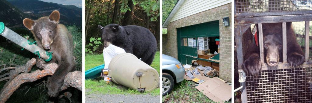 Bear Behavorial Ladder graphic