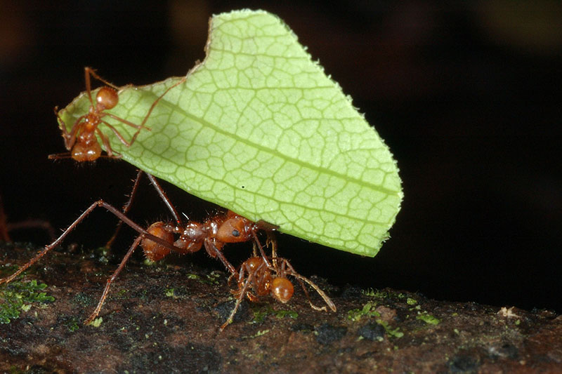 Leaf-Cutter Ants; photo: Riccardo Oggioni